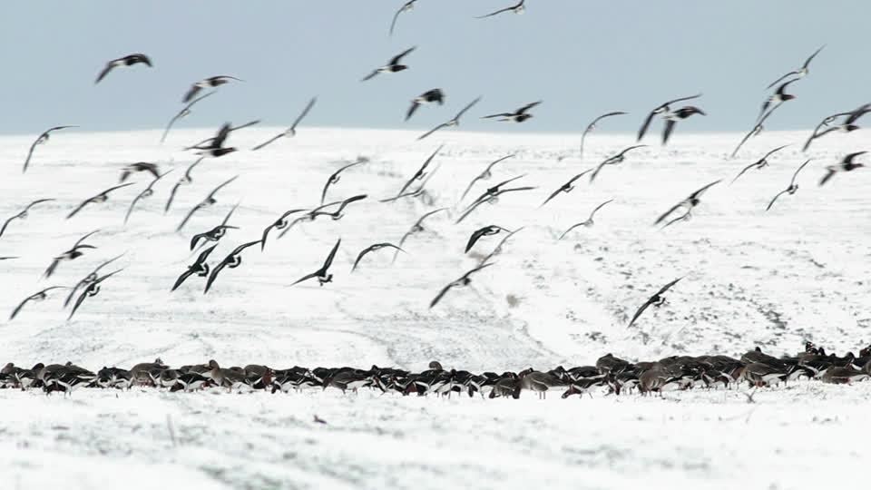 868459747-bernache-a-cou-roux-oie-rieuse-migration-des-oiseaux-bulgarie
